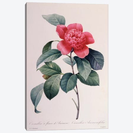 Camellia Anemonefolia Canvas Print #NYB24} by New York Botanical Garden Portfolio Canvas Art