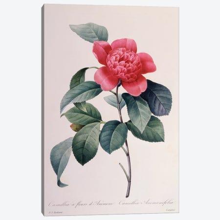 Camellia Anemonefolia Canvas Print #NYB24} by New York Botanical Garden Portfolio Canvas Art