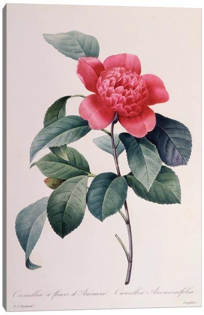 Camellia Anemonefolia Canvas Art Print