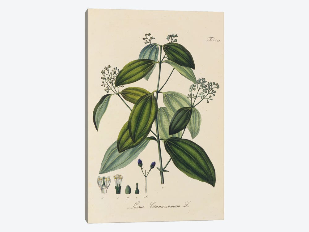 Laurus Cinnamomum by New York Botanical Garden 1-piece Canvas Art Print