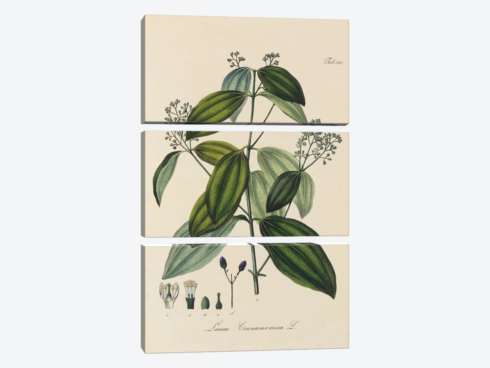 Laurus Cinnamomum by New York Botanical Garden 3-piece Canvas Art Print