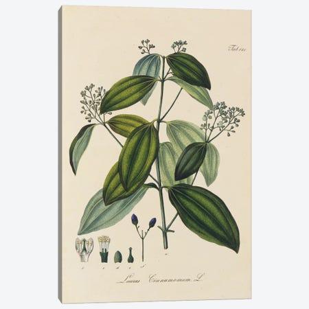 Laurus Cinnamomum Canvas Print #NYB33} by New York Botanical Garden Portfolio Canvas Art