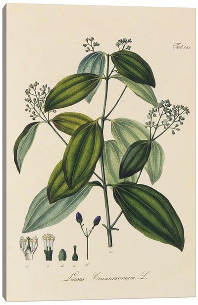 Laurus Cinnamomum Canvas Art Print