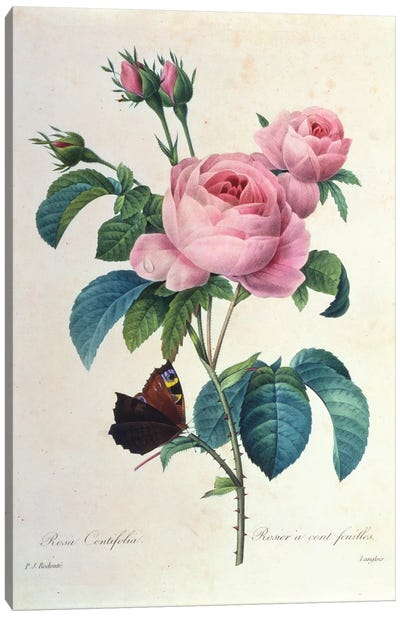 Rosa Centifolia Canvas Art Print