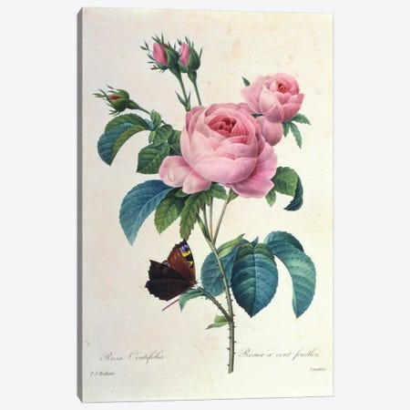 Rosa Centifolia Canvas Print #NYB42} by New York Botanical Garden Portfolio Canvas Art Print