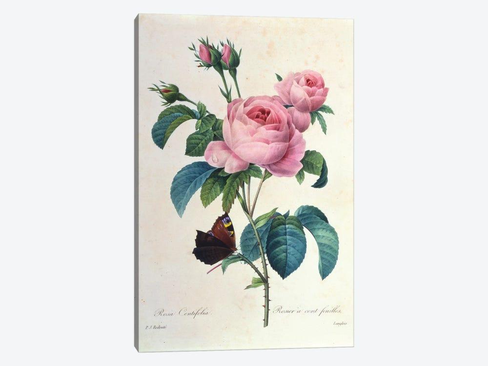 Rosa Centifolia by New York Botanical Garden Portfolio 1-piece Canvas Art Print