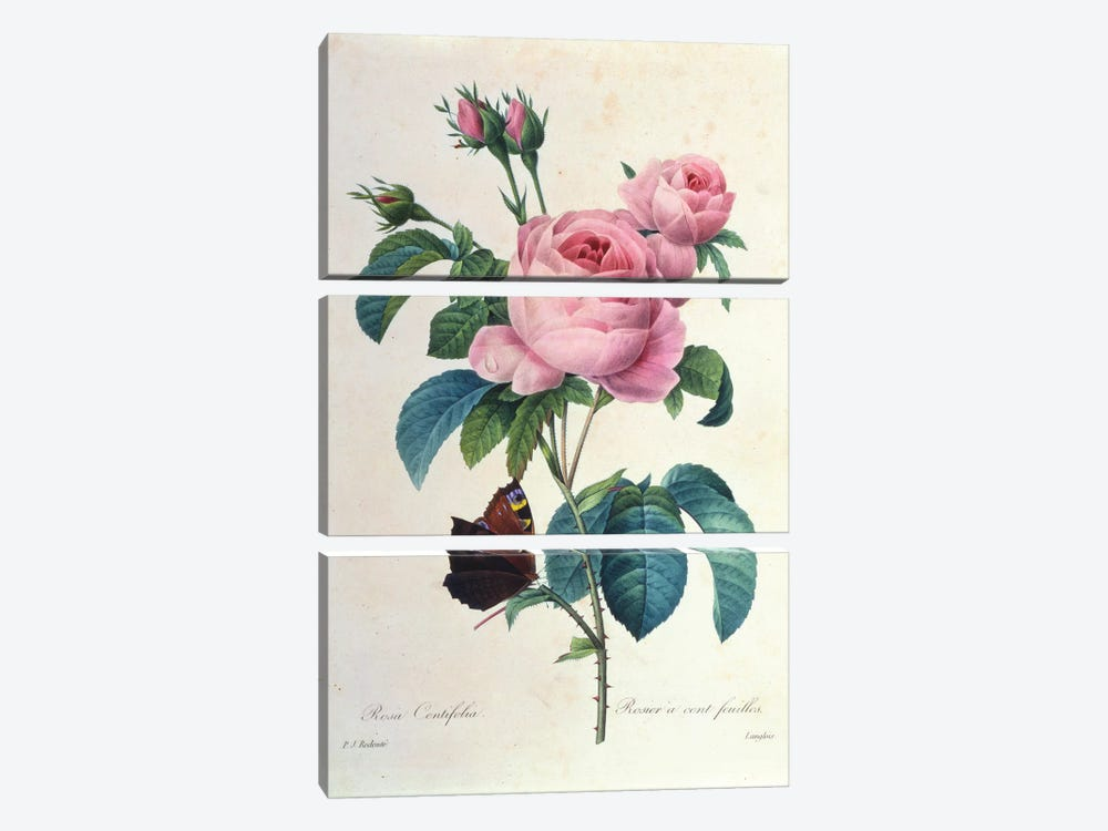 Rosa Centifolia by New York Botanical Garden Portfolio 3-piece Canvas Print