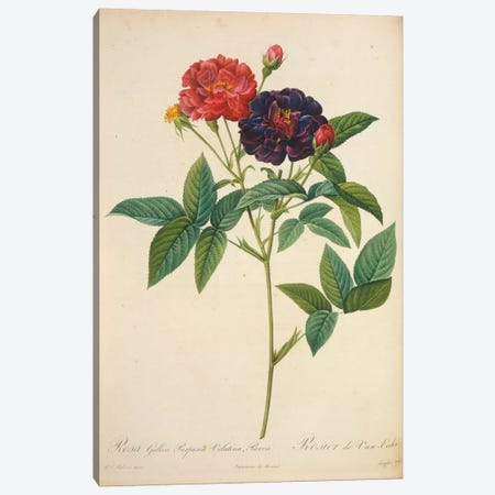 Rosa Gallica Canvas Print #NYB43} by New York Botanical Garden Art Print