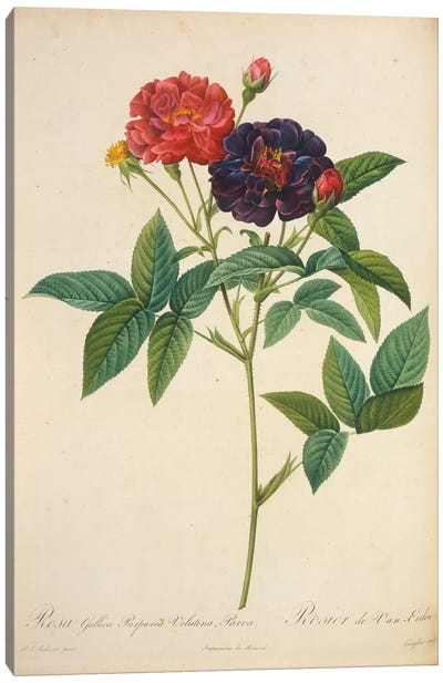 Rosa Gallica Canvas Art Print