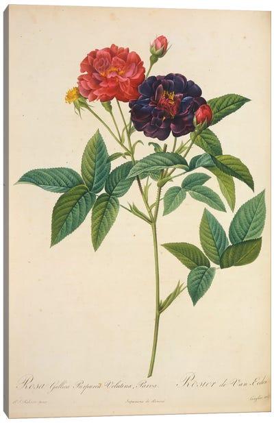 Rosa Gallica Canvas Art Print