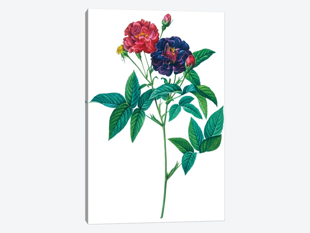 Roses by New York Botanical Garden Portfolio 1-piece Art Print