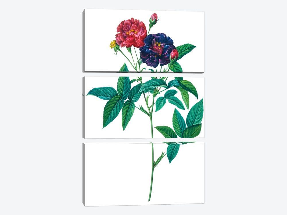 Roses by New York Botanical Garden Portfolio 3-piece Art Print