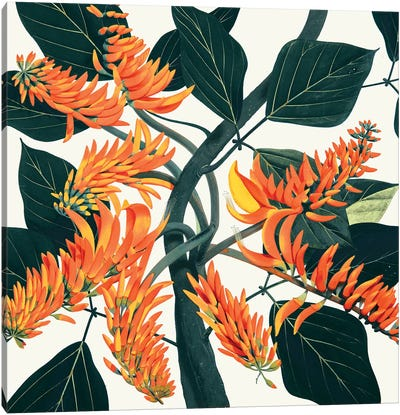 Erythrina Poeppigiana Mountain Immortelle Canvas Art Print