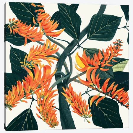 Erythrina Poeppigiana Mountain Immortelle Canvas Print #NYB49} by New York Botanical Garden Portfolio Canvas Art Print