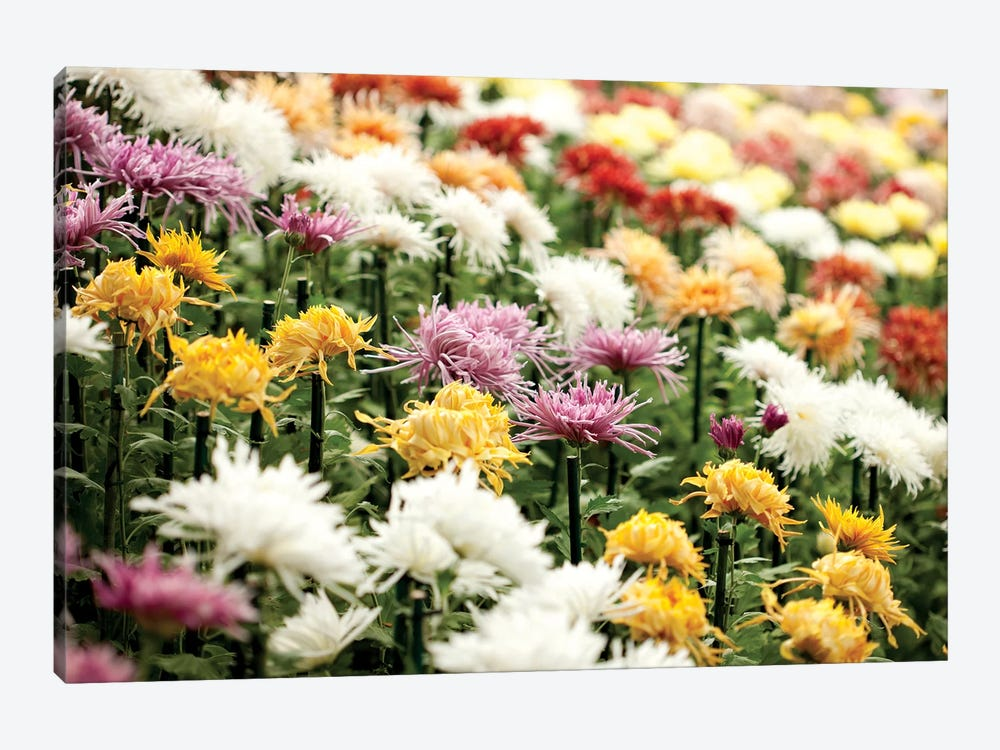 Asteraceae I 1-piece Canvas Print