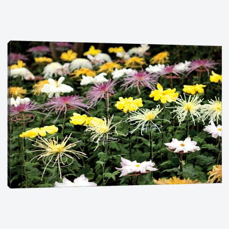 Asteraceae II Canvas Print #NYB5} by New York Botanical Garden Canvas Artwork