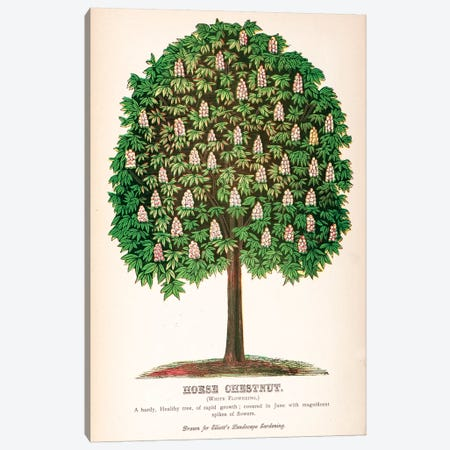 Elliot's Landscape Gardening White Flowering Horse Chestnut Advertisement Canvas Print #NYB8} by New York Botanical Garden Art Print