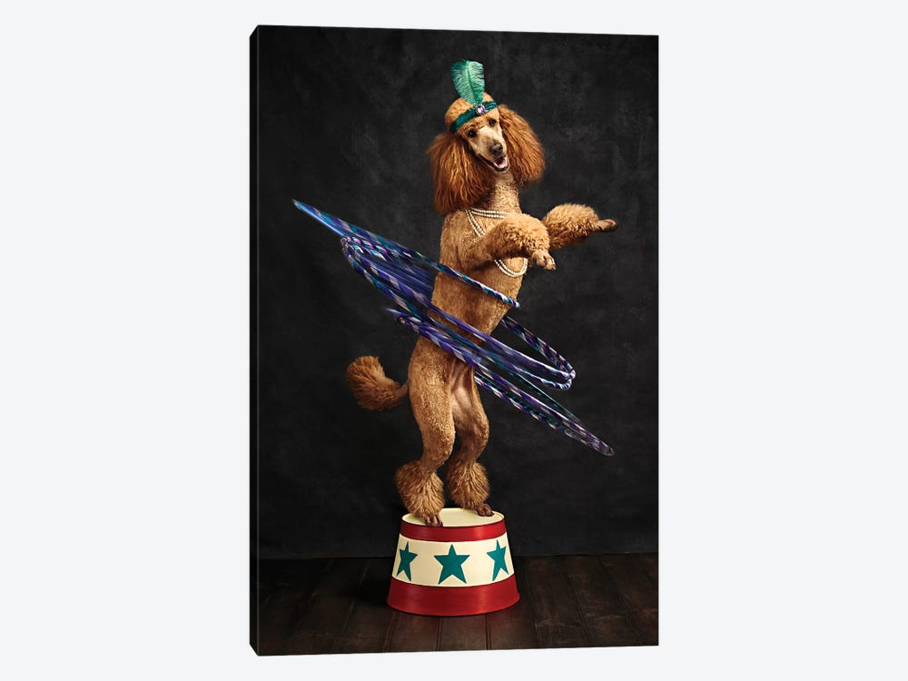 The Poodle Hula Hoop Extraordinaire by Oddball Tails 1-piece Canvas Art