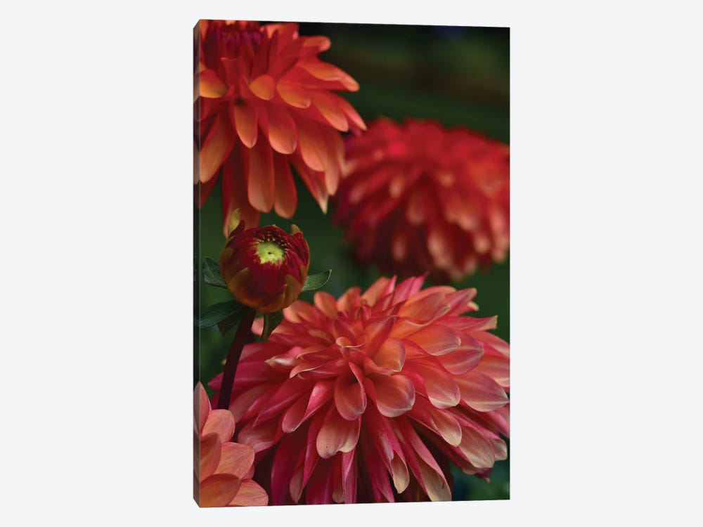 Dahlia by Olivia Joy StClaire 1-piece Canvas Art Print