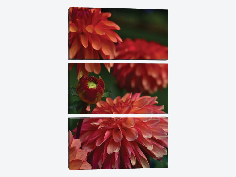 Dahlia by Olivia Joy StClaire 3-piece Canvas Print