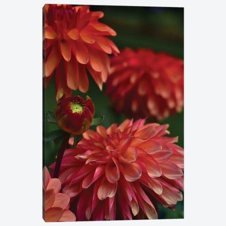 Dahlia 3-Piece Canvas #OJS113} by Olivia Joy StClaire Canvas Art