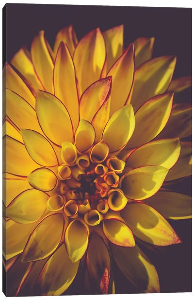 Dahlia, Yellow Canvas Art Print