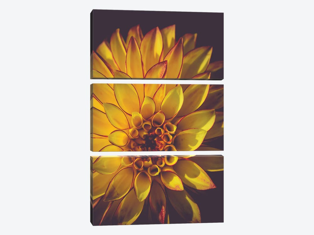 Dahlia, Yellow by Olivia Joy StClaire 3-piece Canvas Art Print