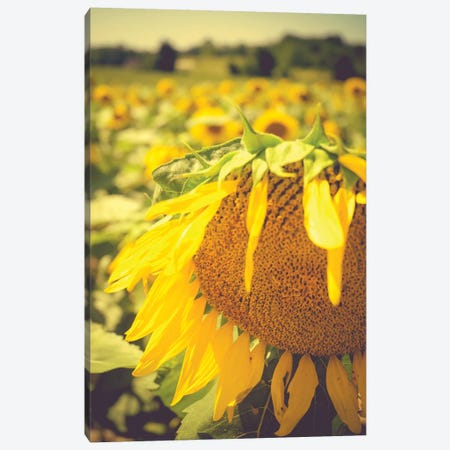 Dreamy Summer Sunflowers I Canvas Print #OJS118} by Olivia Joy StClaire Canvas Artwork