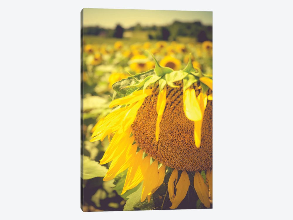 Dreamy Summer Sunflowers I by Olivia Joy StClaire 1-piece Canvas Art
