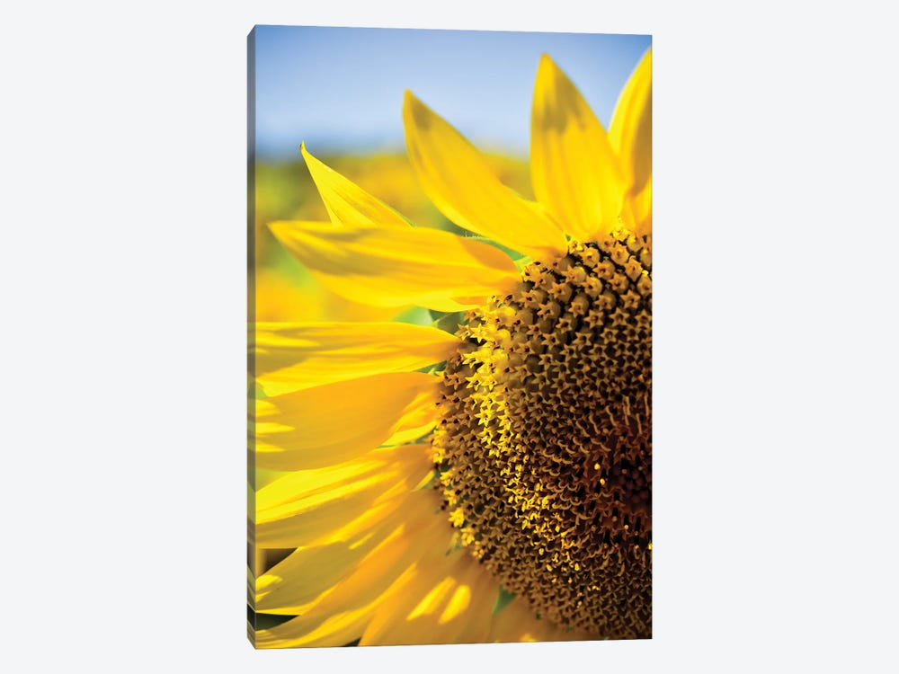 Dreamy Summer Sunflowers IV by Olivia Joy StClaire 1-piece Canvas Print