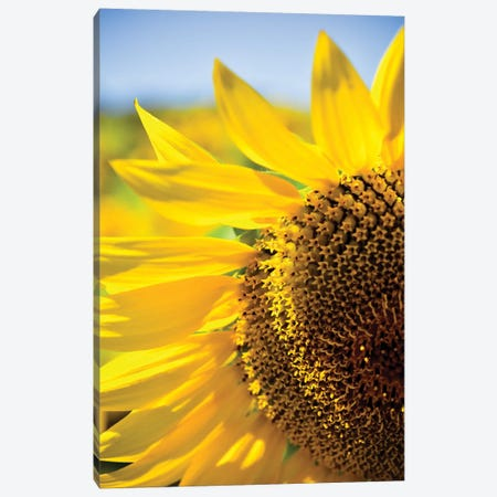 Dreamy Summer Sunflowers IV 3-Piece Canvas #OJS120} by Olivia Joy StClaire Canvas Print