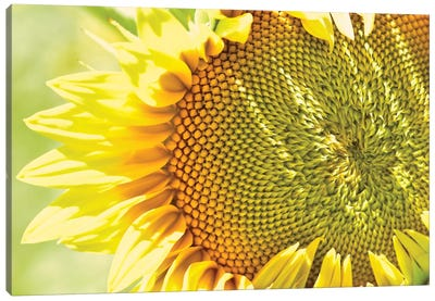 Dreamy Summer Sunflowers V Canvas Art Print
