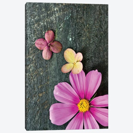 Pink Cosmos Canvas Print #OJS157} by Olivia Joy StClaire Art Print