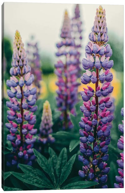Lupines In A Spring Field Canvas Art Print