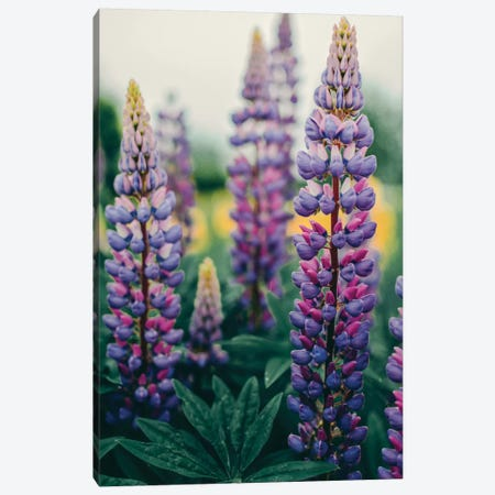 Lupines In A Spring Field Canvas Print #OJS216} by Olivia Joy StClaire Canvas Artwork