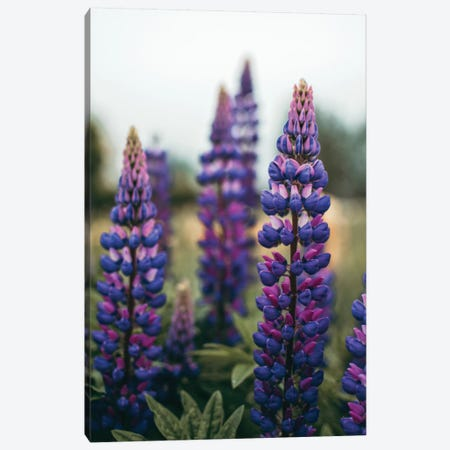 Lupine Flowers In A Spring Field LI Canvas Print #OJS217} by Olivia Joy StClaire Canvas Wall Art