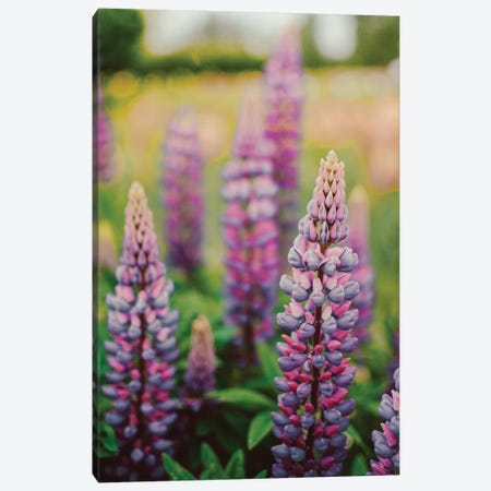 Lupine Flowers In A Spring Field LII Canvas Print #OJS218} by Olivia Joy StClaire Art Print