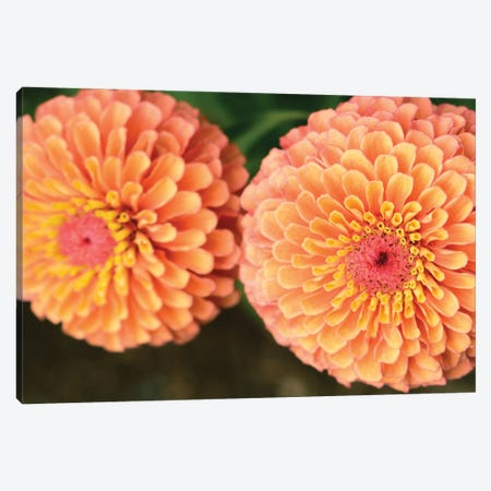 Zinnia Flowers Canvas Print #OJS276} by Olivia Joy StClaire Canvas Wall Art