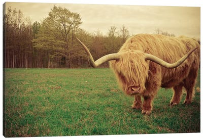 Portrait Of A Scottish Highland Steer Canvas Art Print
