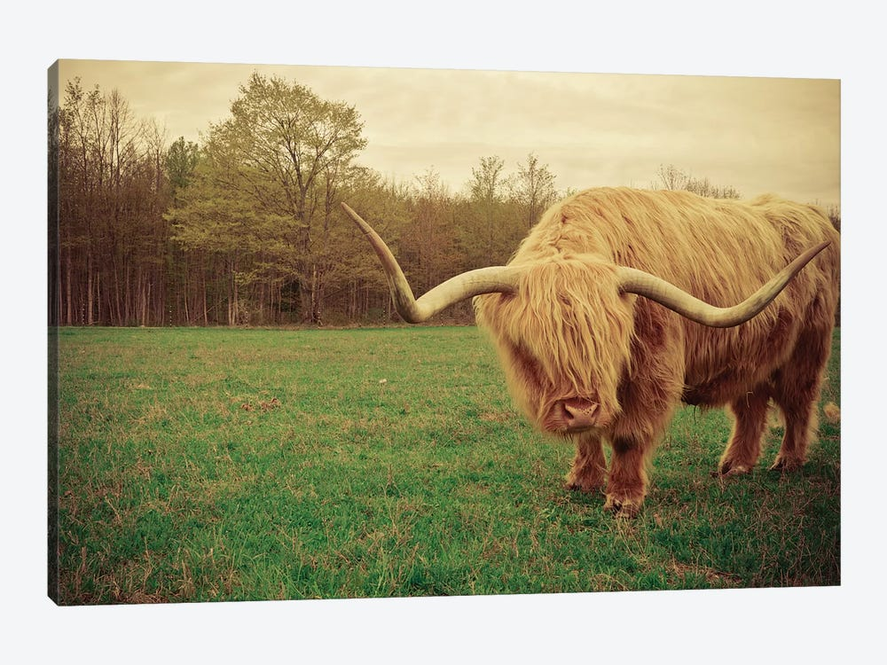 Portrait Of A Scottish Highland Steer by Olivia Joy StClaire 1-piece Art Print