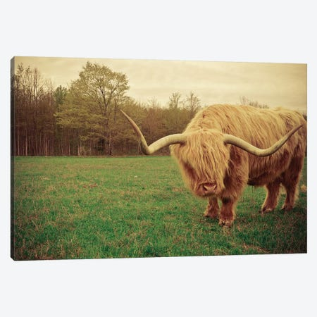 Portrait Of A Scottish Highland Steer Canvas Print #OJS29} by Olivia Joy StClaire Art Print