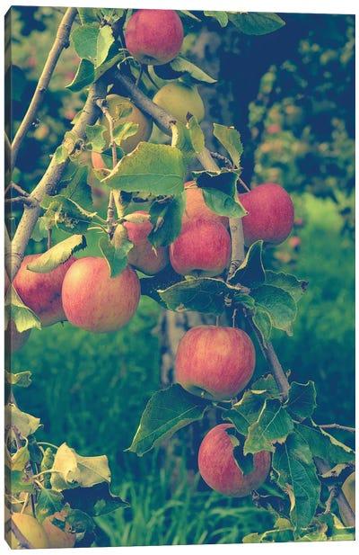 Apple Harvest Canvas Print #OJS2
