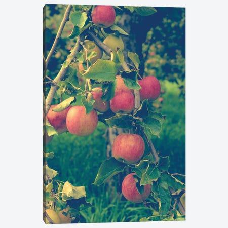 Apple Harvest Canvas Print #OJS2} by Olivia Joy StClaire Canvas Art Print