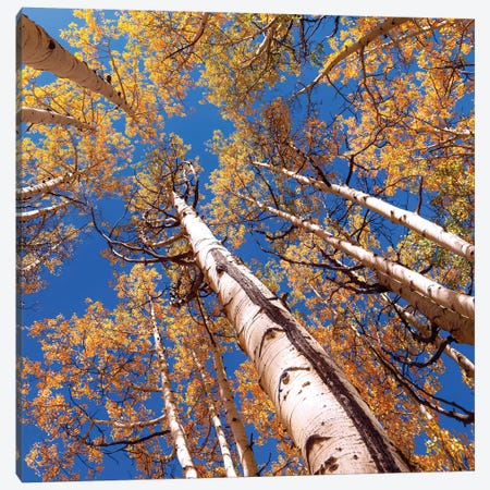 Aspen Trees Against The Sky In Crested Butte, Colorado . Canvas Print #OLE125} by OLena Art Canvas Art Print