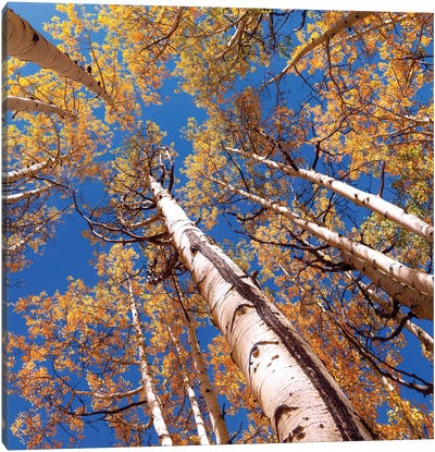 Aspen Trees Against The Sky In Crested Butte, Colorado . Canvas Art Print