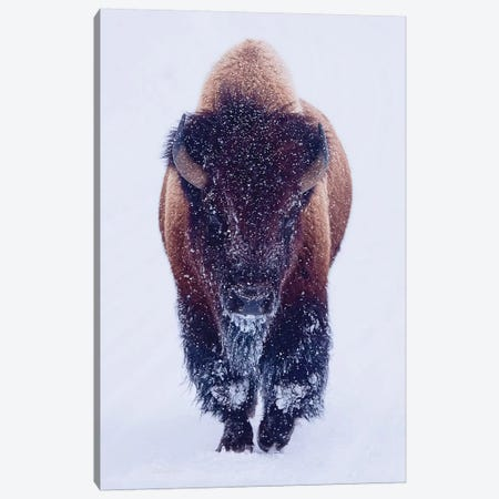 Bison In Snow Canvas Print #OLE138} by OLena Art Art Print