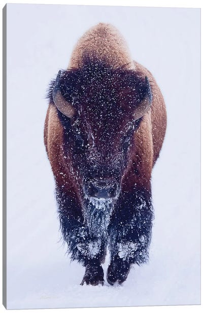 Bison In Snow Canvas Art Print