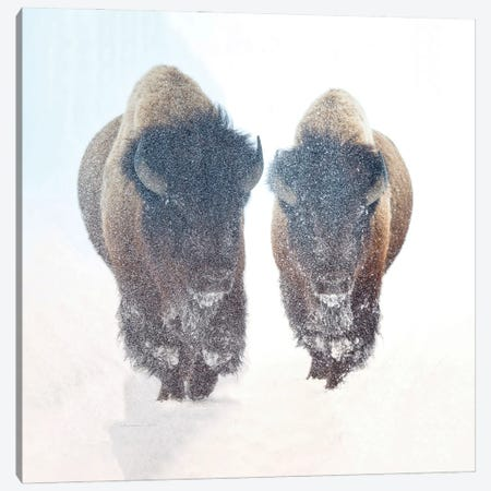 Two Bison In A Snow Storm Canvas Print #OLE198} by OLena Art Canvas Print
