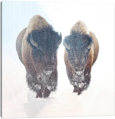 Two Bison In A Snow Storm Canvas Art Print