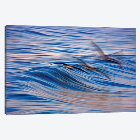 Pelican Blur Canvas Print #ORI24} by David Orias Canvas Art